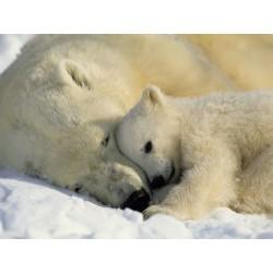 Fotomural Polar Bears
