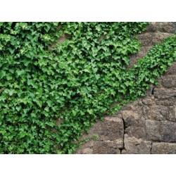 Fotomural Ivy